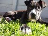 Bronx 4 months old pit bull terrier wallpaper