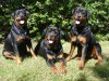 Rottweilers pack wallpaper