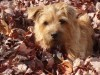 Cute norfolk terrier in deep leaves wallpaper