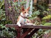 Basenji enjoying bench wallpaper