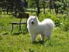 Samoyed dog in the park wallpaper
